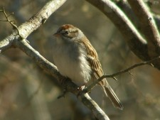 Chipping Sparrow,