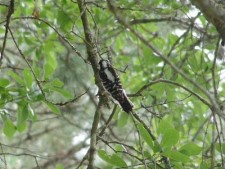 Downy or Possible Hairy Woodpecker