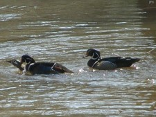 Wood Duck,( 2 males after the same female)