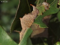 Checkered-Fringe Prominent Moth Caterpillar