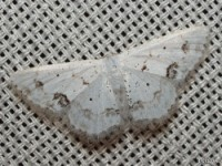 Small Frosted Wave Moth