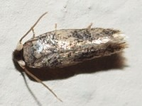 Moth(Ectoedemia sp., probably obrutella)