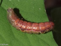 Lochmaeus sp. Ready to Pupate