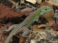 Six Lined Racerunner Whiptail Lizard