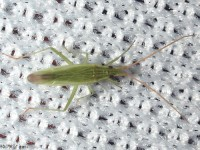 Trigonotylus sp. Plant Bug