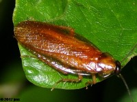 American Wood Cockroach
