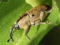 Flower Weevil