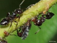 Aphid tended by Ants