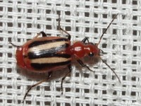 Colorful Foliage Ground Beetle