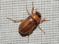 Masked Chafer Beetle