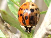 Multi-colored Asian Lady Beetle, a rough go of it but alive