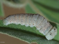 Goatweed Leafwing Butterfly Caterpillar