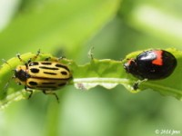 Lady Beetle and Leaf Beetle size comparison