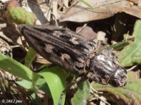Sculptured Pine Borer Beetle