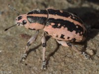 Clown Weevil