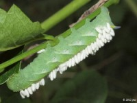 Trumpet Vine Sphinx Moth Caterpillar with Parasitic Wasps