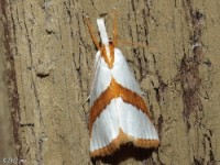 Straight-lined Argyria Moth