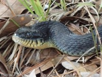 Yellow-Bellied Water Snake