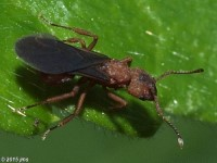 Fungus Farming Ant, Queen