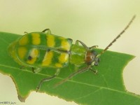Banded Cucumber Beetle