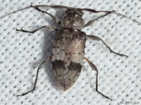 Flat-faced Long-horned Beetle