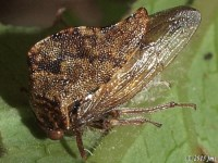 Treehopper on Virginia Creeper