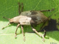Gray Persimmon Weevil