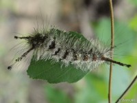 Southern Tussock Moth Caterpillar