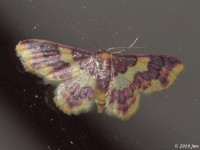 Stained Lophosis Moth (Female)