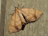 Greater Grapevine Looper Moth