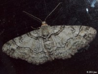 Double-lined Gray Moth