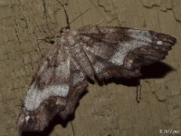 One-spotted Variant Moth