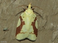 Aproned Sparganothis Moth