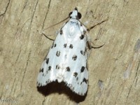 Spotted Peppergrass Moth