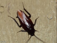 Smoky Brown Cockroach