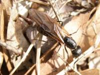Queen Eastern Black Carpenter Ant