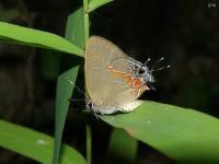 Red Banded Hairstreak Butterfly