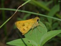Whirlabout Grass Skipper Butterfly