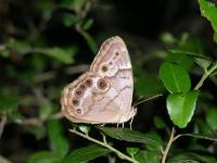 Pearly-Eyes Butterfly