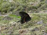 Spicebush Swallowtail Butterfly, BFLY29