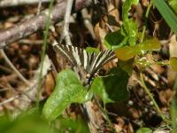 Zebra Swallowtail Butterfly Injured but flying OK.