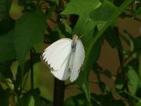 Great Southern White Butterfly