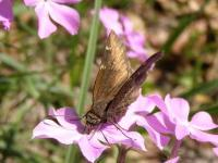 Cloudywing Butterfly