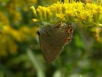 Hairstreak Butterfly, Probably Gray
