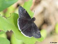 Funereal of Mournful Duskywing Butterfly