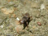 Maize Weevil, very small.