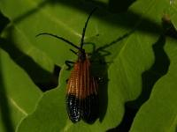 End Band Net-wing Beetle