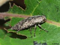 Metallic Wood Boring Beetle