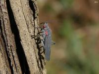Red-shouldered Bug