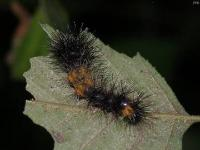 Early Instar Giant Leopard Moth Caterpillar